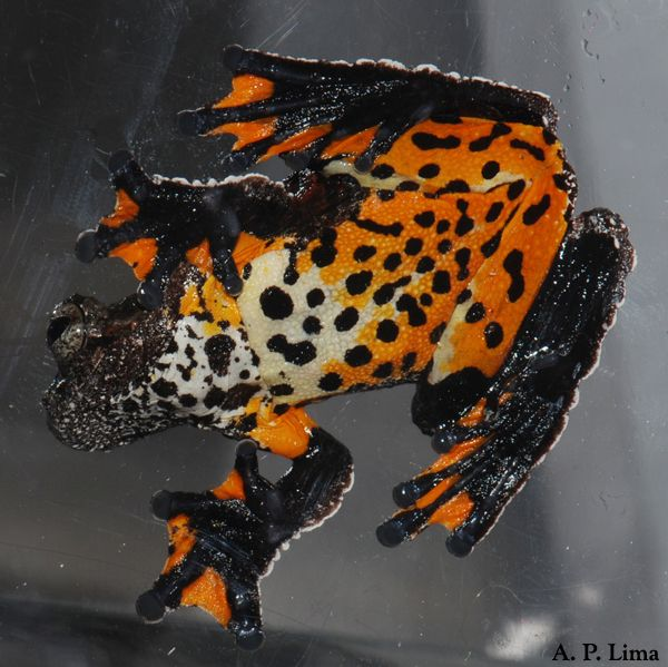 Marbled Tree Frog (Dendropsophus marmoratus) from South America. (Catch the attached photos to see the marbled eyes!) Photo © A.P. Lima