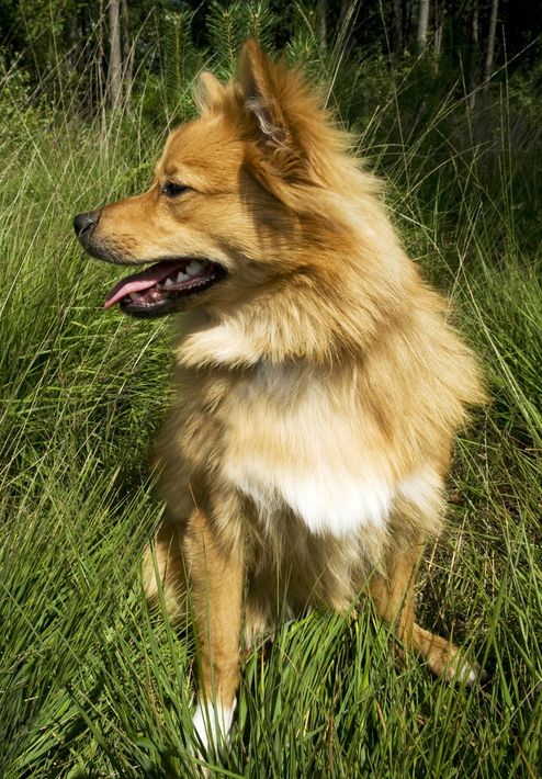 Finnish Spitz...any relation to Mark Spitz? | Dogs Are ...