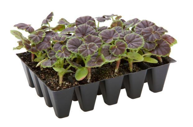 Rozmnazanie Pelargonii Z Nasion Jak I Kiedy Wysiewac Nasiona Pelargonii Wymarzonyogrod Pl Plants Succulents