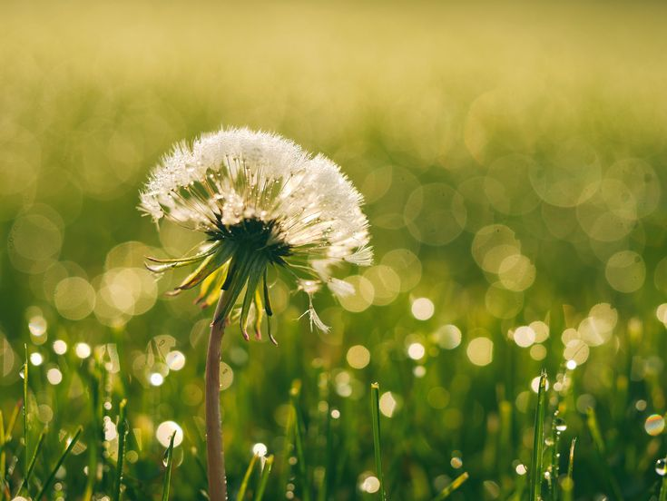 [#HD Wallpaper] A dandelion in a dewey grassy area - #Weed Peasant Burning Weeds, and Farmhouse at Night, #Beauty #CommonDandelion #Flower Pixabay, Nature, Photograph  - Photo by Aaron Burden @aaronburden (unsplash)  - Follow #extremegentleman for more pics like this!