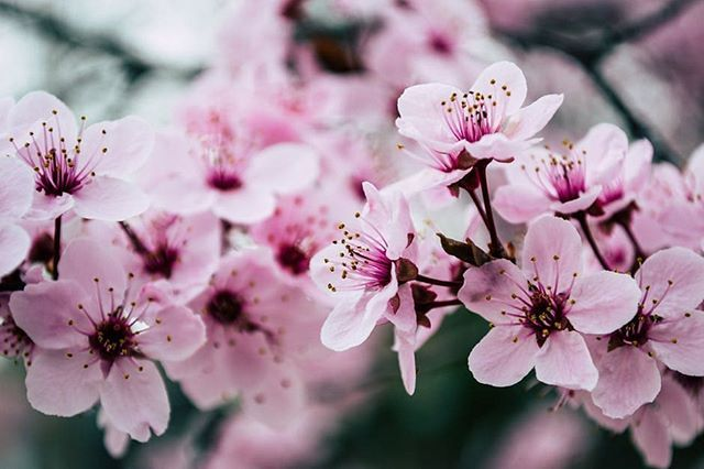 Today We Are Going To Select A Cherry Blossom For My Late Mother In Law Who Passed In September I Have B Cherry Blossom Flowers Flower Images Japanese Flowers