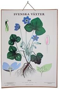 Swedish school poster - svenska växter
