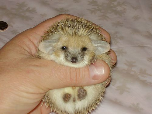 Egyptian Long Eared Hedgehog