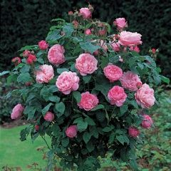 Mary Rose, Standard ® Rose has also gotten good reviews from zone 5 for hardiness and continuous blooming