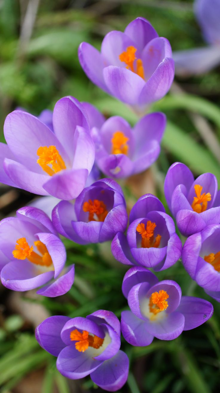Lila Krokus   – Spring Flowers in the north of England