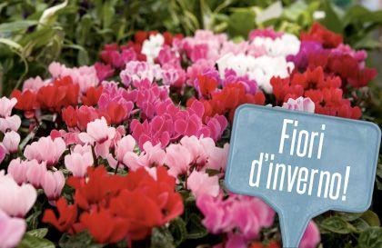 Fiori invernali da balcone: 5 piante che resistono al freddo! | Giardinieri in affitto
