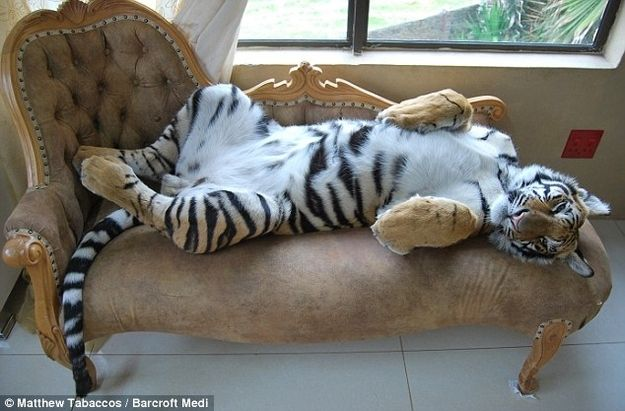 13 Reminders That Big Cats Are Basically House Cats #12. They will sprawl out anywhere to sleep, dignity be damned.