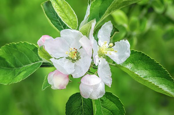Jane Star Photograph - Springtime - Blooming Tree by Jane Star #JaneStar #Spring #AppleTree #ArtForHome #InteriorDesign #HomeDecor