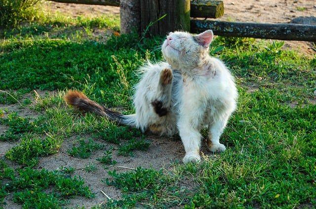 Milben Bei Katzen Behandeln Hausmittel Gegen Katzenmilben Hausmittelhexe Katze Milben Hund Und Katze Katzen