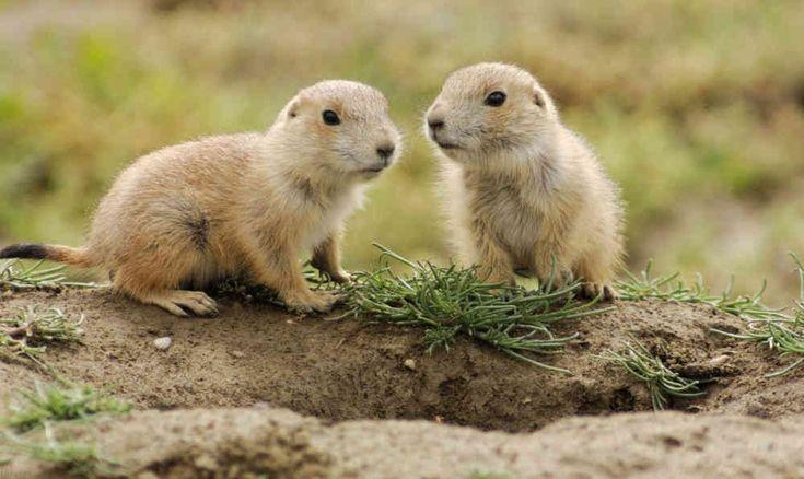 Las marmotas constituyen un género de roedores, emparentados estrechamente con las ardillas, siendo el miembro más grande de esta familia. Aun así, mantienen características y comportamientos muy distintos. Su alimentación es uno de los aspectos más interesantes, a continuación te invitamos a conocer con más detalle qué comen las marmotas, entre otros aspectos como el comportamiento, las características físicas, etc. Alimentación Son fundamentalmente herbívoras, alimentándose de diversos…