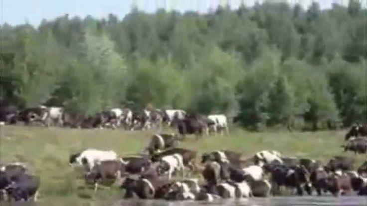 Cara beternak sapi, beternak sapi sebenarnya sangatlah luar biasa menguntungkan. penggemukan sapi potong. Kenapa kami bilang hasilnya pasti? Karena usaha ini...