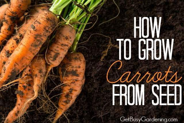 It can be tricky to grow carrots from seed - did you know you that you should never transplant carrot seedlings? Find out why, and learn How To Grow Carrots From Seed here. #seedlings #getbusygardening