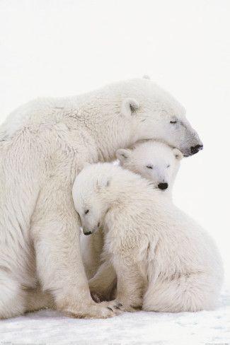 Família unida de Ursos Polares