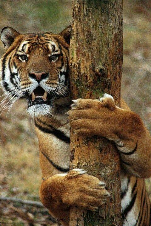 tiger & forest