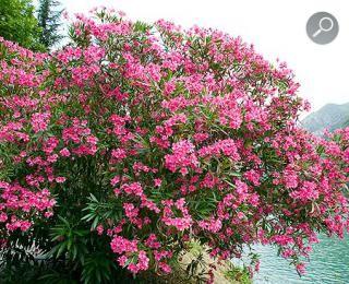 πικροδάφνη (Nerium oleander)