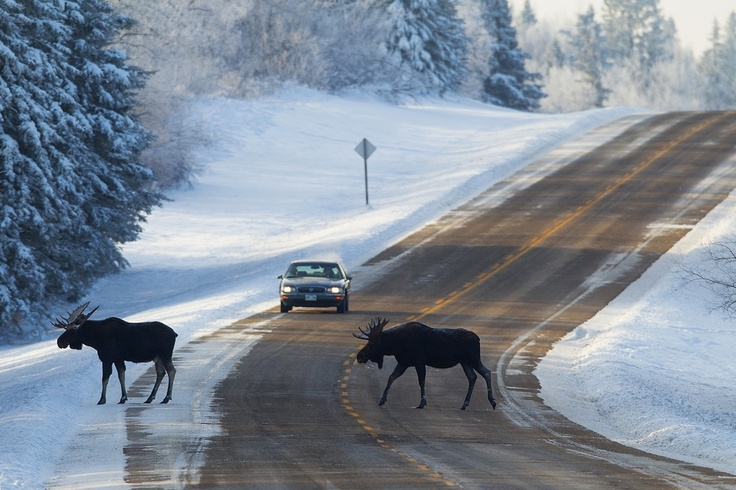 """Moose Crossing"" by Doug Dance, via 500px. Riding Mountain National Park in Manitoba, Canada."