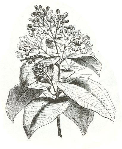 Canela (Cinnamomum zeylanicum) (descripción,propiedades medicinales, recetas con canela, cómo conservarla)