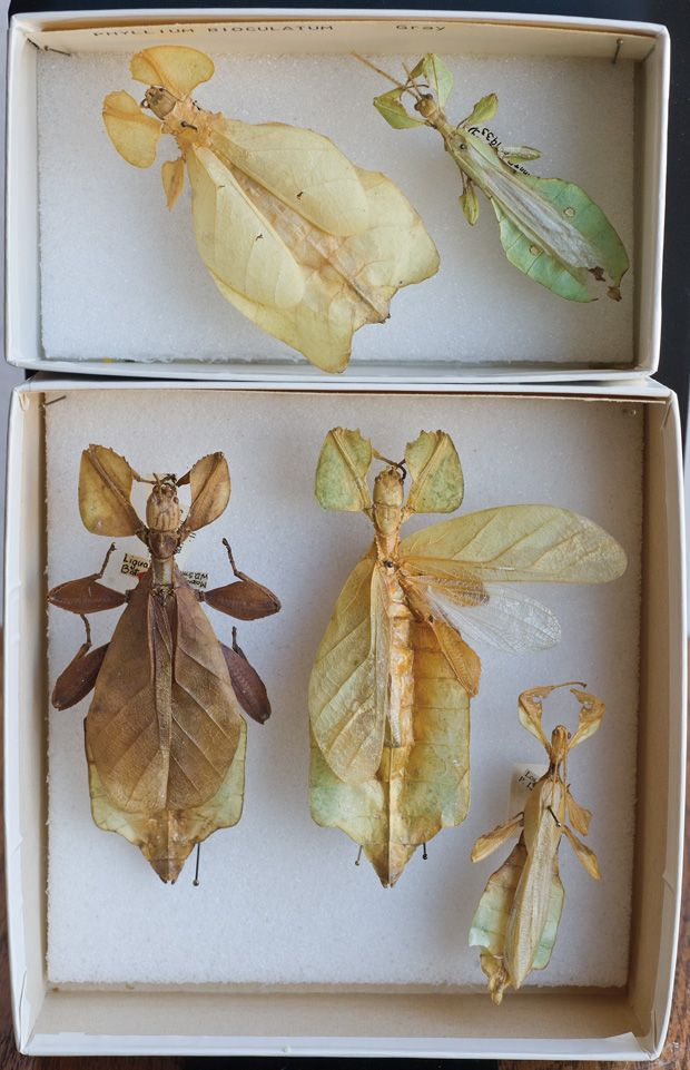 'Leaf insects' (a lineage of tropical walking sticks). These remarkable Phasmida are found in rainforest canopes of tropical Asia. Included in this group are many newly described specimens from the Philippines. The others are from New Guinea and the Seychelles.