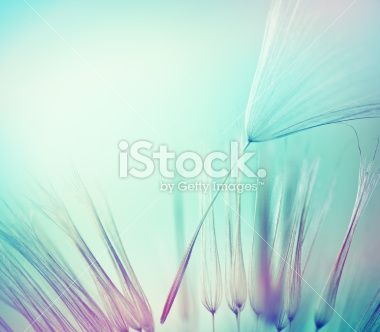 Dandelion seed Royalty Free Stock Photo