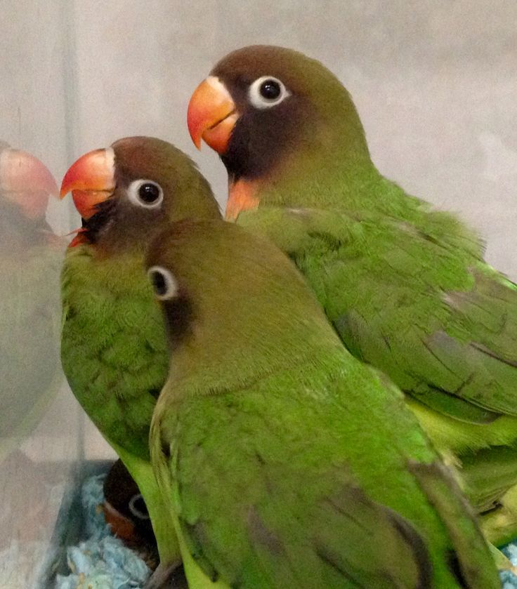 #black cheek #lovebirds available