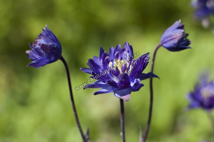 Aquilegia vulgaris 'Clementine Blue'  - orlíček obecný