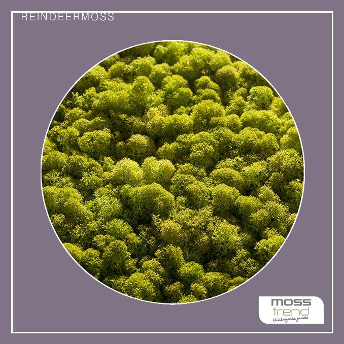 Zielone #ściany REINDEERMOSS - włoskiej marki MOSS TREND. Dostępny w BandIt Design. www.banditdesign.pl  #mech #zieloneściany #interior #aranzacja #aranzacjawnetrz