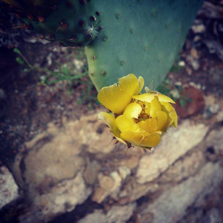 Bella flor #cactus #alcazaba #almeria #andalucia