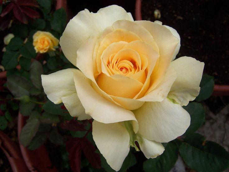 Floribunda Rose 'Honey Bouquet'