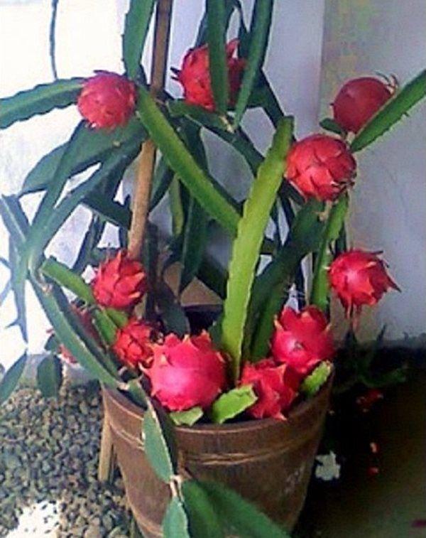 planta pitaya 2