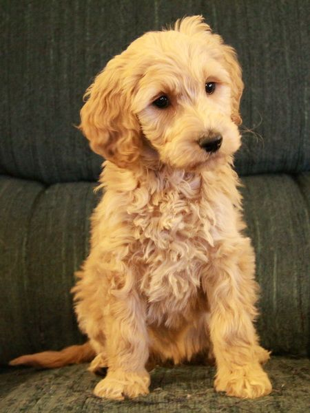Gorgeous Goldendoodle puppy! Too cute!   Cute Puppies ...
