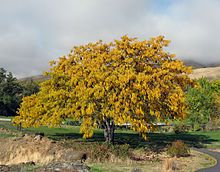 Honey locust - G Washington used them for hedges and living fences