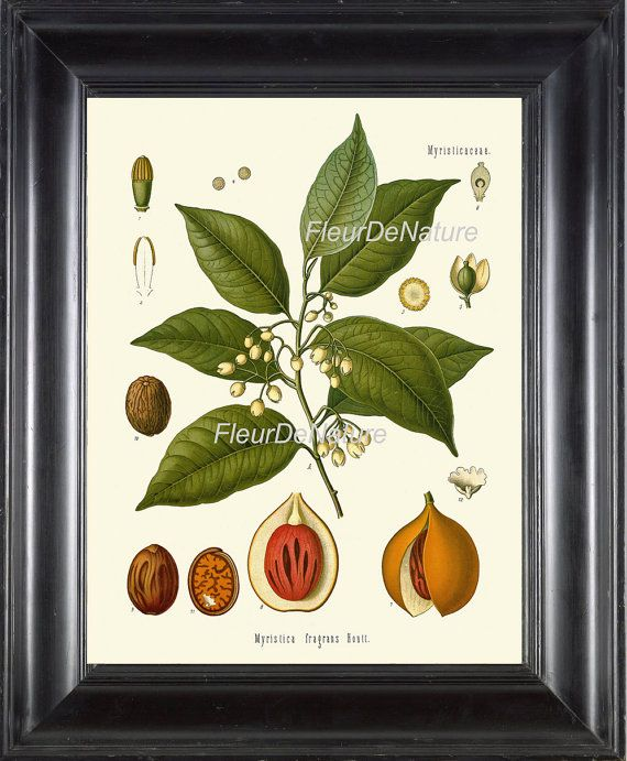 BOTANICAL PRINT Kohler 8x10 Botanical Art Print by FleurDeNature