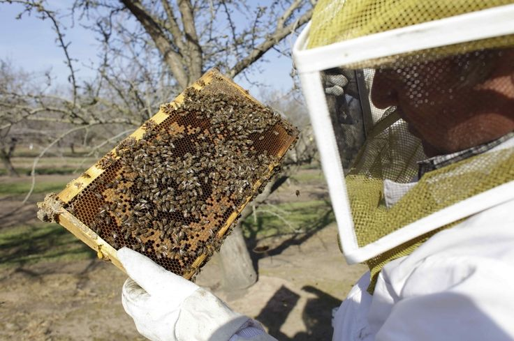 Bee Deaths May Have Reached A Crisis Point For Crops :   A bee inspector checks on a frame of bees to assess the colony strength near Turlock, Calif., in February. More than 30 percent of America's bee colonies died off over the winter. Farmers who grow crops like almonds, blueberries and apples rely on commercial beekeepers to make sure their crops get pollinated. But the number of honeybees has now dwindled to the point where there may not be enough to pollinate those crops.