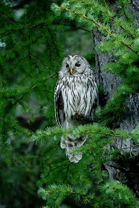 Ural owl (Strix uralensis hondoensis )フクロウ