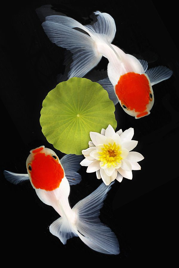 ~~LOVE DUET ~ goldfish and lotus in a pond by Lessy Sebastian~~