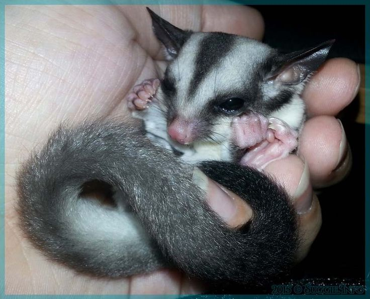 Best information site on sugar gliders, healthy diets, safe wheels, bonding info and more! Sugar Glider Info | Sugar Glider Information Without the Sugar Coating suggieinfo.com