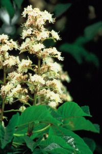Bach Flower Remedies: White Chestnut - fabulous for the nights you can't sleep because your mind is whirring with all of those things you feel you need to worry about...