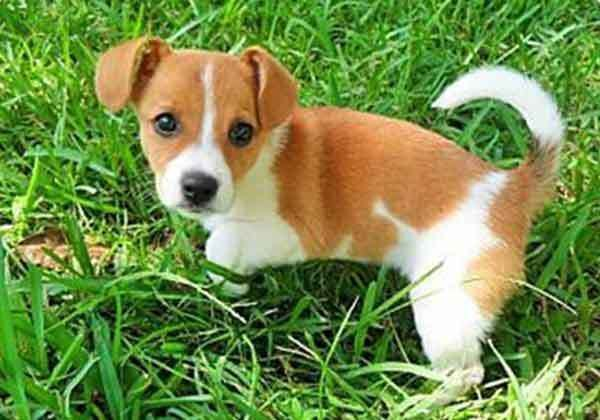 The Cute But Hyper Jack Russell Chihuahua Mix Jack Russell