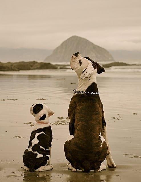 Pit Bulls on the beach.