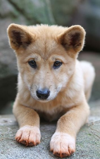 Dingo Pup -- Perhaps one of the most iconic animals of all, the Australian dingo is now an endangered species due to cross-breeding and overzealous hunters.