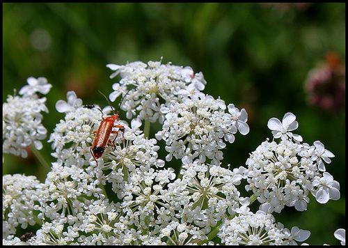 daucus carota- panais sauvage
