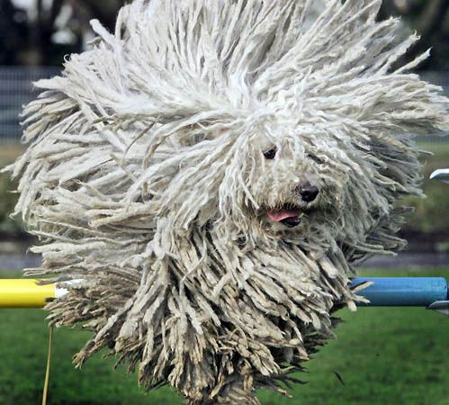 hungarian puli ...they turn into doggy fireworks when they jump!