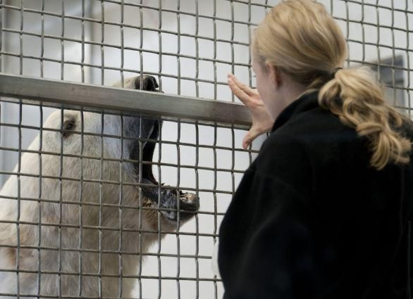Como Zoo trainer and zoo keeper Brianna Larson worked with Neil, one of the zoo's 16-year-old twin polar bears. She opened her hand to get him to open his mouth so she could check for any potential gum or teeth problems, then she had him rise by extending her hands in the air and had him sit. For each of these things he received one of his favorite treats, sticks of frozen lard. Zoo keepers usually check Neil and his brother Buzz every day.