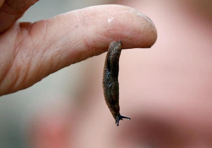 LONDON (Reuters) – Scientists have developed an experimental surgical glue inspired by the mucus secreted by slugs that could offer an alternative to sutures and staples for closing wounds.  While some medical glues already exist, they often adhere weakly, are not particularly flexible... - #Glue, #Inspires, #Kind, #Slime, #Slug, #Surgical