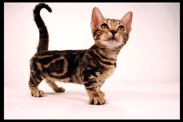 dwarf kitten? yes please.