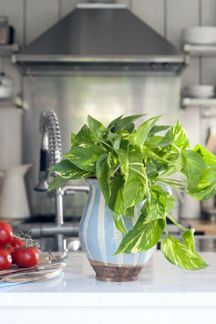 Die Efeutute macht sich auch gut in der Küche  #efeutute #zimmerpflanzen #pflanzen #indoor #kitchen #Epipremnum #pflanzenfreude