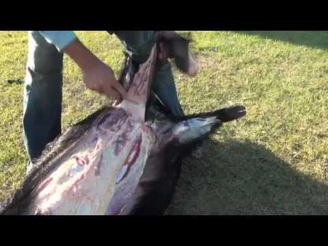 How to Cape and Quarter a Big Wild Boar Hog - YouTube