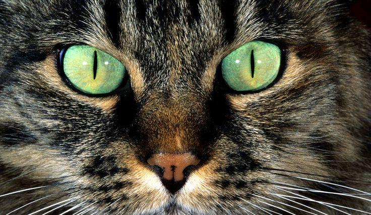 Полосатый, зеленые, пятно окрас, нос, глаза, усы, шерсть, кошка, морда, кот