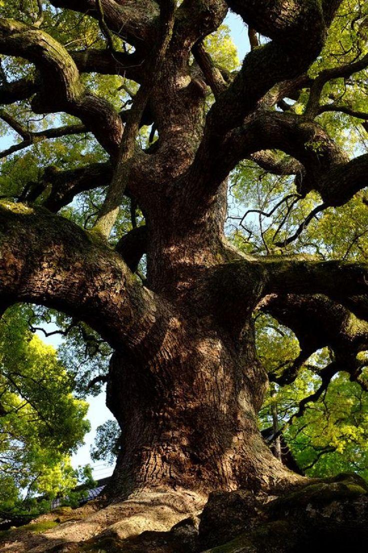 Tree (Camphor of Shoren)