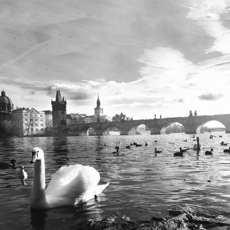 Charles Bridge and swans  the most gorgeous things crossing Vltava river in Prague